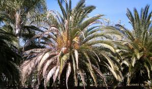 Canary island date palm diseases